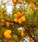 Масло Аргана Вирджин - одно из самых ценных и редких масел.