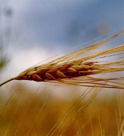 Зародышей пшеницы масло (рафинированное) 100мл - фото 6163