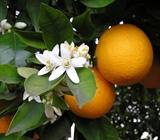 Цветочная вода/ гидролат Апельсина 100мл