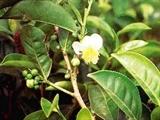 Чайного дерева эфирное масло 10мл