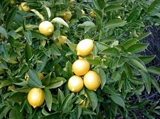 Лимона эфирное масло 10мл