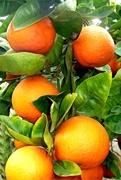 Апельсина сладкого эфирное масло 500мл