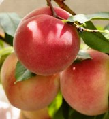 Персиковое масло (рафинированное) 1л
