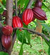Какао масло (рафинированное) 500г