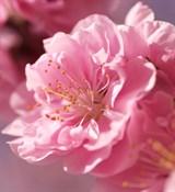 Цветы сакуры отдушка косметическая 10мл