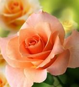 Розы воск 20г