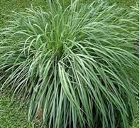 Лемонграсса сухоцветы 10г