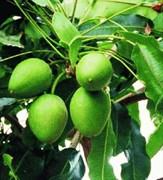 Ши (каритэ) масло (рафинированное) Мали 100г